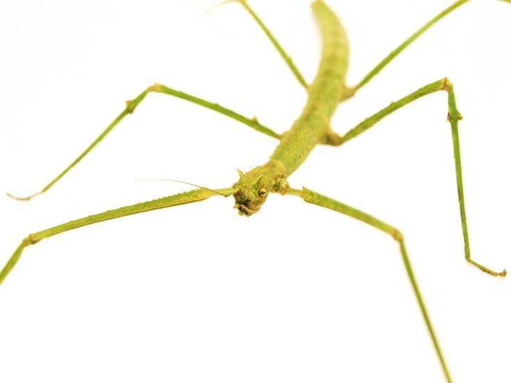 the background of the walking stick insect Spanish walking stick insect species leptynia hispanica in high definition with extreme focus and dof (depth of field) isolated on white background.
