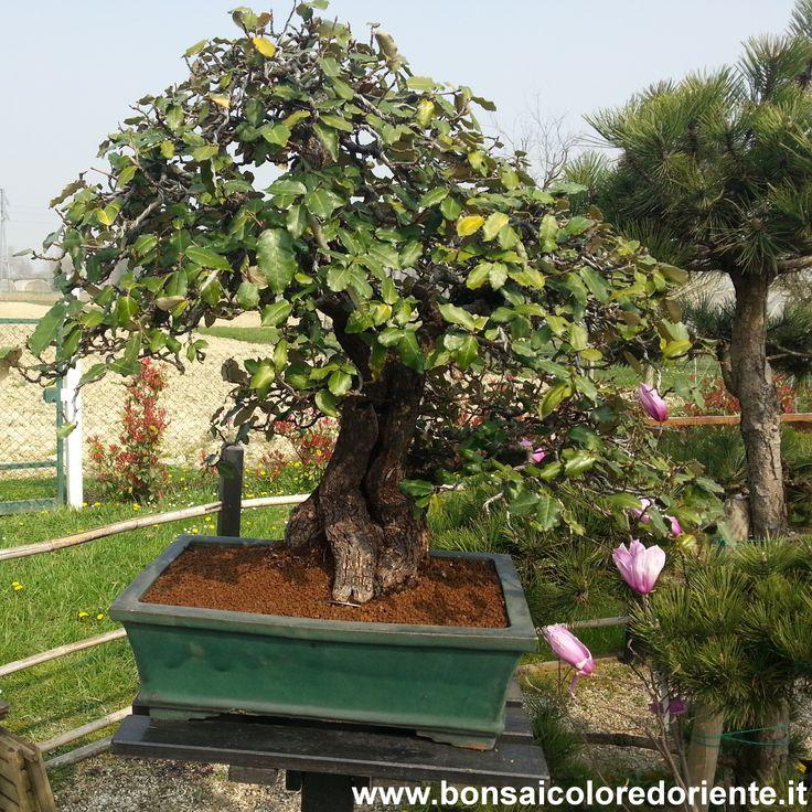 Eleagnus bonsai rinvasato