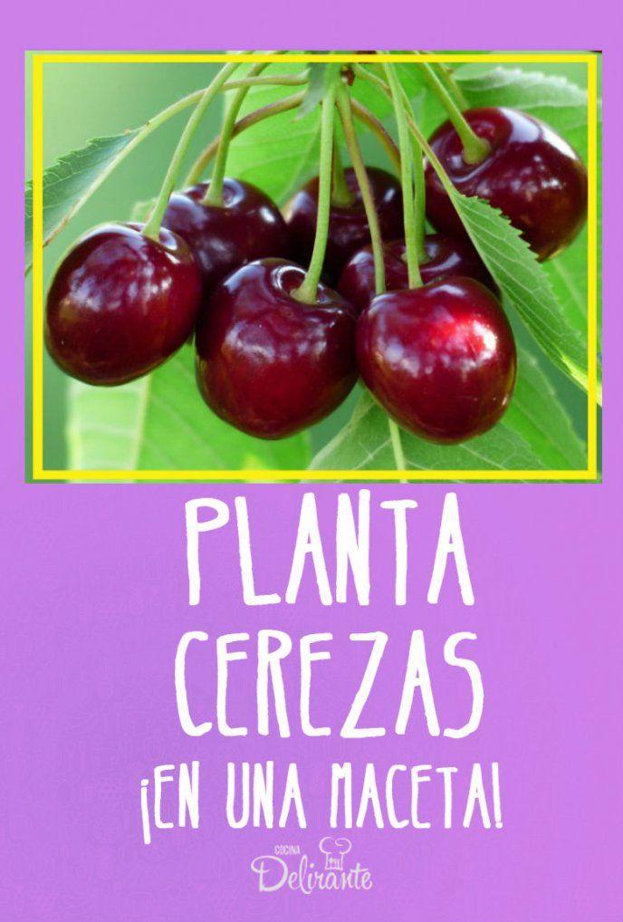 Aprende a plantar cerezas en una maceta y disfruta los resultados