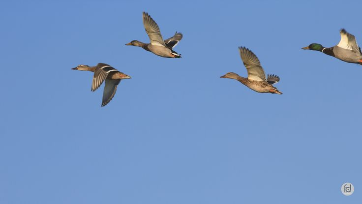 • Canards colvert /  Anas platyrhynchos • #oiseau #canard #duck #migrateur #bird #songbird #bunting #animal #ornithology #winter #hiver #nature #envol #cevennes #gard #languedoc #france #africa #migratorybird #sud #southside #photonature #photo #fotografia #photography #foto #zooming • www.entomophotopassion.com