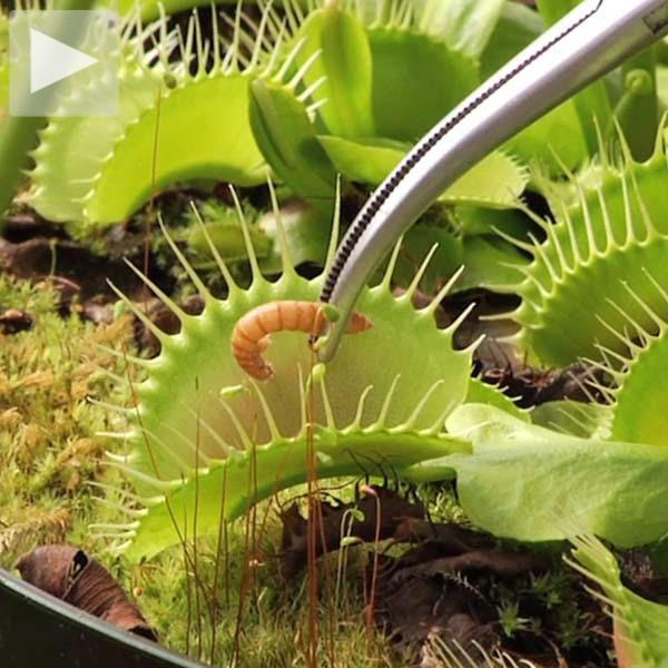 les 1920 meilleures images du tableau carnivorous plants sur pinterest plantes carnivores. Black Bedroom Furniture Sets. Home Design Ideas
