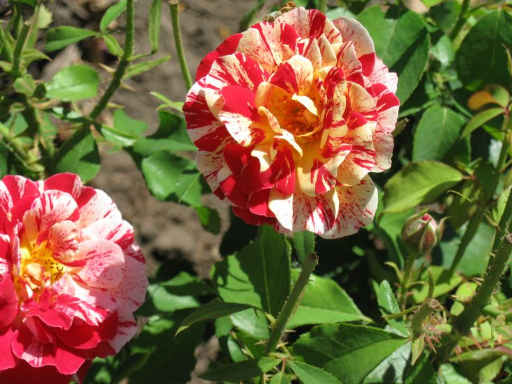 """beautiful rose- think it is a """"George Burns"""" rose..."""