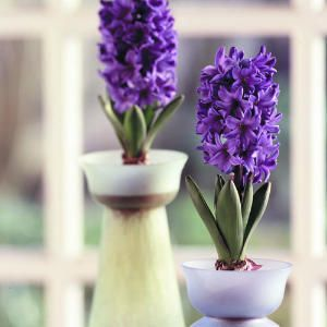 Forcing bulbs--- nice article on forcing bulbs for indoor winter color.: Favorite Flowers, Flowers Bulbs, Bulbs Force, Winter Colors, Sunsets, Indoor Planters, The Gentle Art Of Force Bulbs, Flowers Flowing Gardens, Bulbs Flowers