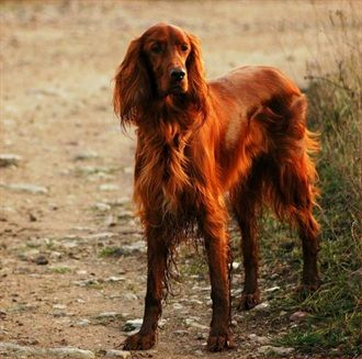 Irish Setter - Breed Profile: Origin: Ireland Colors: Mahogany or rich chestnut red Size: Large Type of Owner: Novice Exercise: Vigorous Grooming: Regular Trainability: Easy to train Combativeness: Friendly with other dogs Dominance: Low Noise: Not a barker