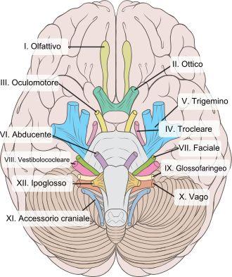 Nervi cranici - Wikipedia