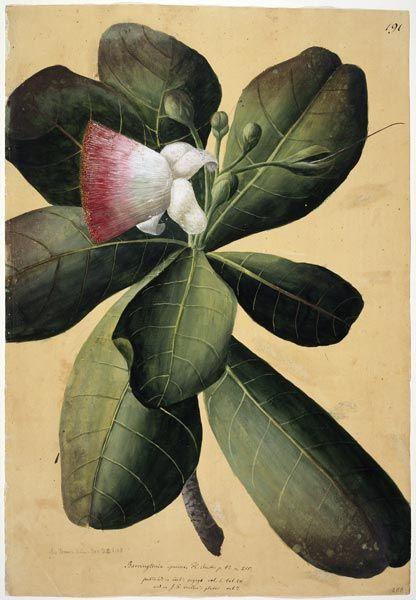 Georg Forster; Barringtonia asiatica, Tahiti, 1773. © The Natural History Museum, London