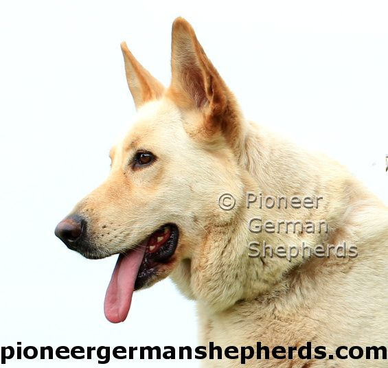 Head of one of our white female large German Shepherds