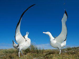 Albatros desplegando las alas sobre la hierba