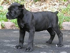 #Cane #Corso #Puppies | Cane Corso Breeders | Cane Corso Mastiff