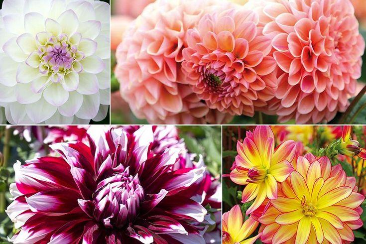 Garten-Ratgeber - Beliebte Sommerblüher - besondere Dahlien im Garten online kaufen & bestellen
