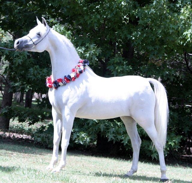 Gallery :: Arabian horses of Freeland Farm: Arabian stallion Shael Dream Desert: Arabian mares: Arabian Foals for Sale: Arabian Horses: Arabian Horses for Sale