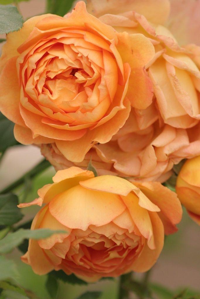 Rose 'The Lady of Shalott'