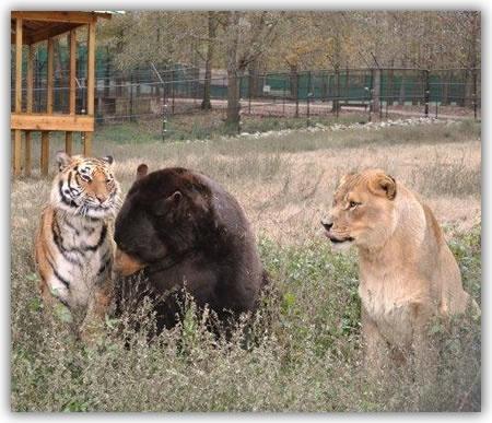 Unlikely Friends : Lion, Tiger & Bear