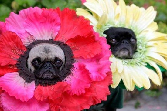 Flower pugs on parade.