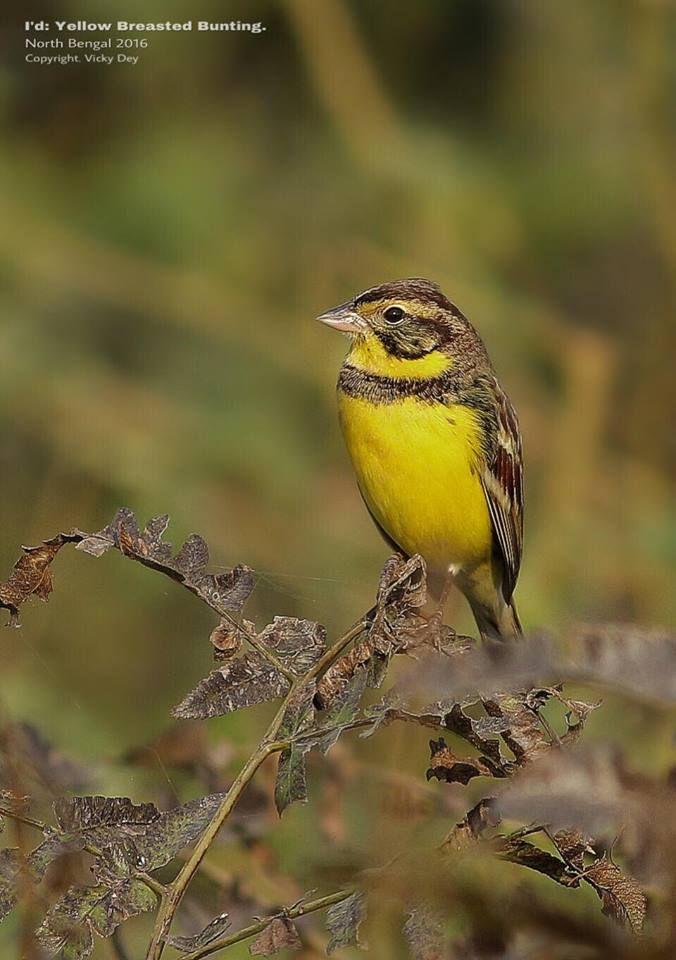 Orange Breasted Sparrow 2034 best image...