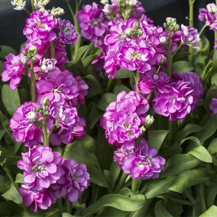 Levkojen Duftende Sommerblumen Sommerblumen Blumen Topfgarten
