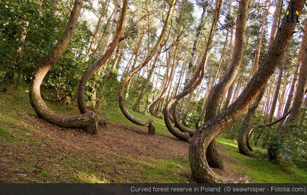 """The Crooked Forest isn't signposted; Just ask the way to """"Krzwy Las""""- if you dare!"""
