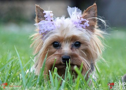 Surrender a Yorkie to a happy ever after life!