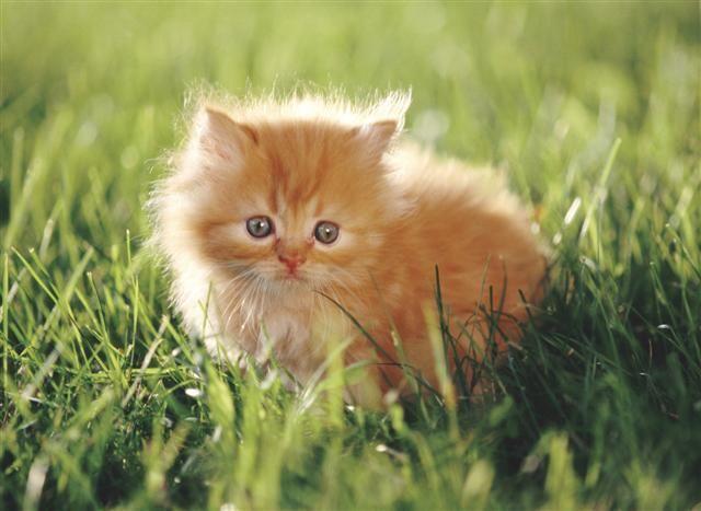 fluffy orange ragdoll kittenwithblue eyes | My Mate and Kits - Autumntail