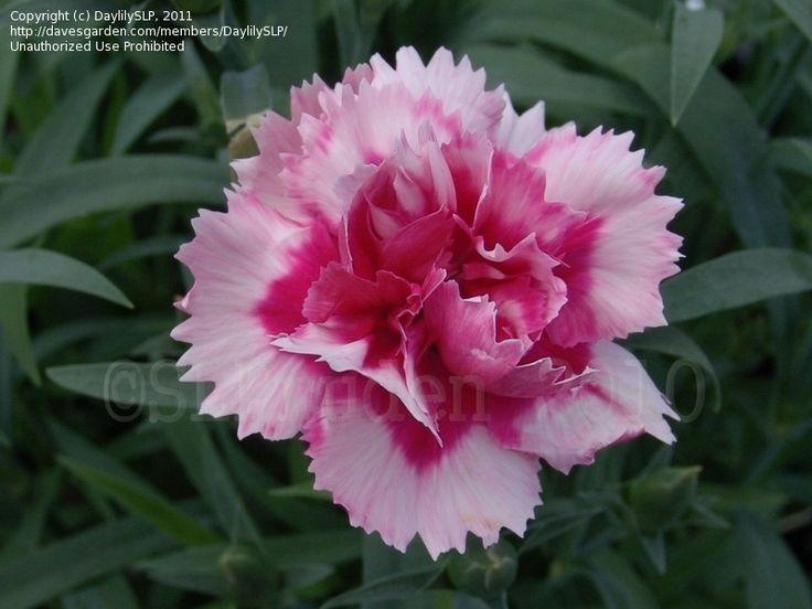 yli tuhat ideaa dianthus caryophyllus pinterestiss monivuotiset kasvit puutarha ja kukat. Black Bedroom Furniture Sets. Home Design Ideas
