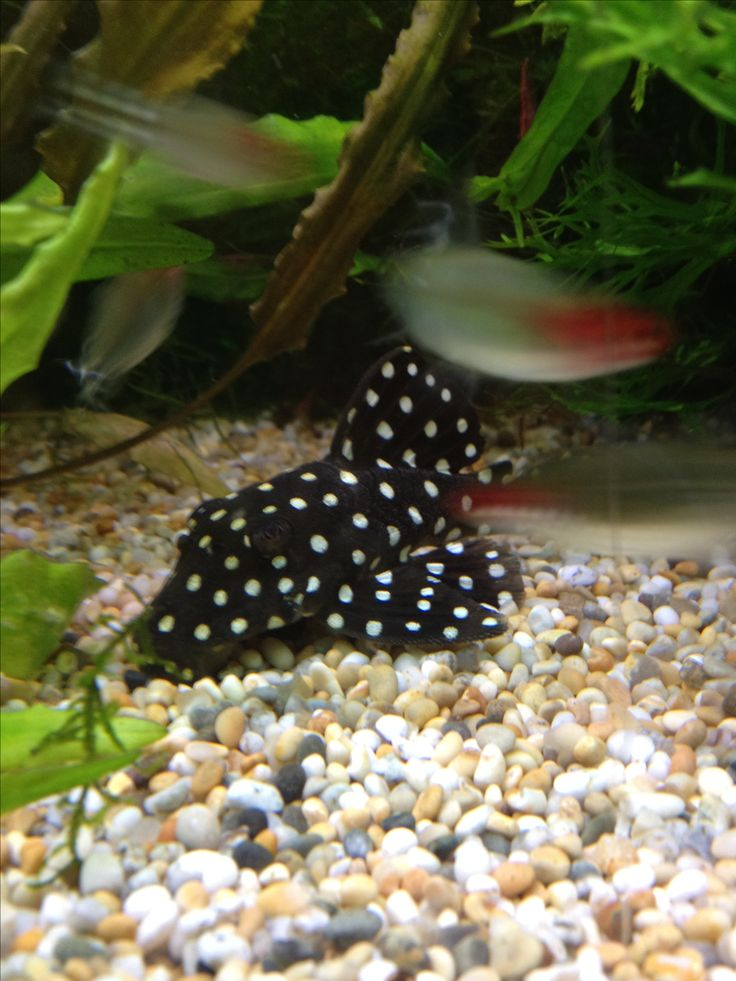 17 best images about fresh water tropical fish on for Best freshwater aquarium fish