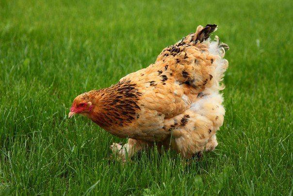 Как правильно применять птичий (куриный, голубиный) помет, чтобы не навредить