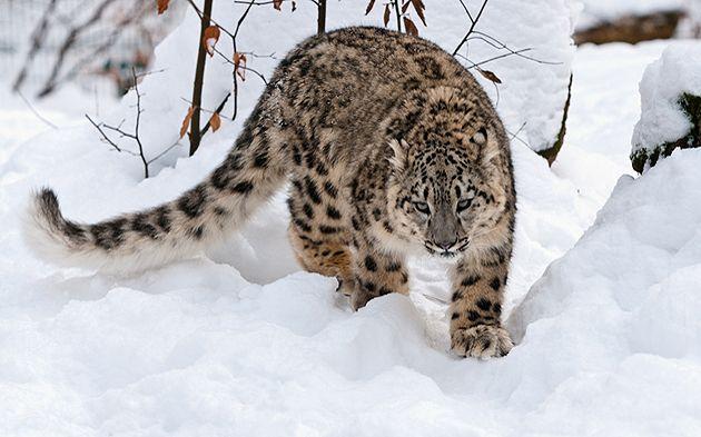 Spedizione Leopardo delle nevi