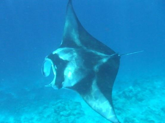 My manta ray at Vilamendhoo :-)