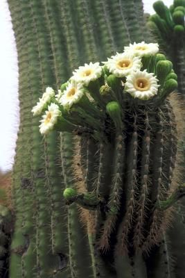 Collect and plant cactus seeds