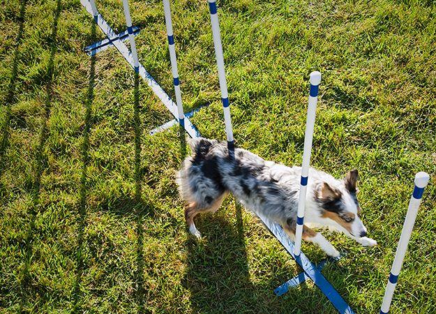 10 Tips for Dog Agility Training: Animal Planet