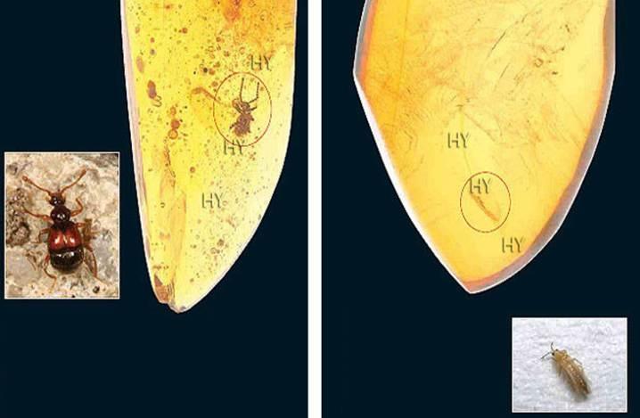 Palpuslu Kınkanatlı (yukarıda solda)     Dönem: Senozoik zaman, Oligosen dönemi  Yaş: 25 milyon yıllık  Bölge: Dominik Cumhuriyeti  Trips (yukarıda sağda)     Dönem: Senozoik zaman, Oligosen dönemi  Yaş: 25 milyon yıl  Bölge: Dominik Cumhuriyeti