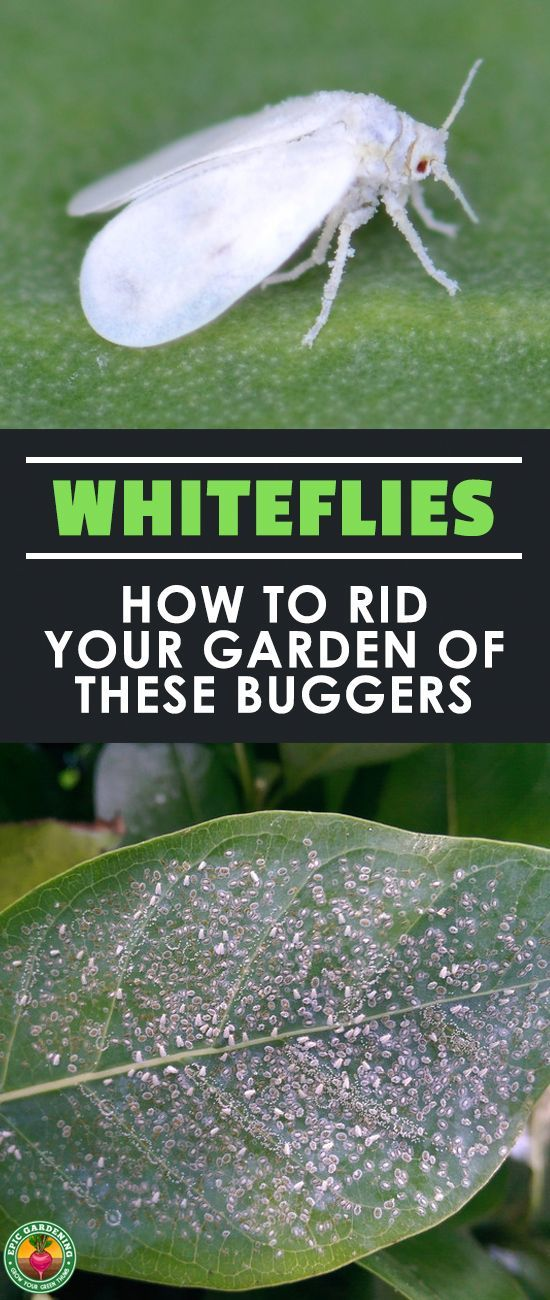 Are you finding tiny white bugs on plant leaves? You may have whiteflies. Learn all about whiteflies and how to eliminate these sap-sucking pests from your garden or greenhouse with our complete pest guide! #pests #gardening