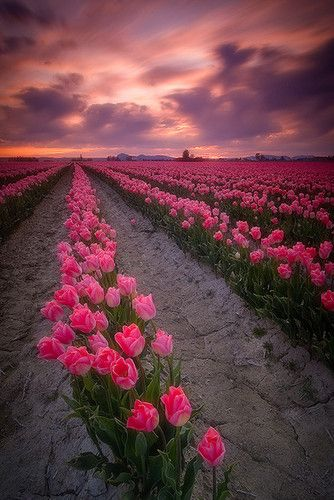 tulipsPink Flower, Tulip Fields, Paths, Sky, Sunsets, Colors, Gardens, Pink Rose, Pink Tulips