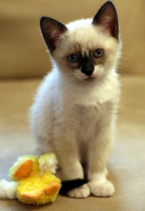 snowshoe kitty - Google Search