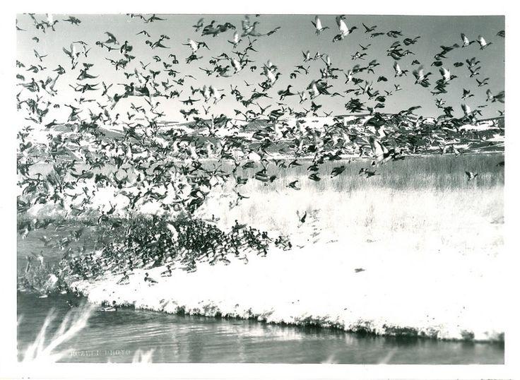 USFWS Mountain-Prairie - 1950, March 12 - Roahen - Mallards moving in to winter feeding station on Duck Creek