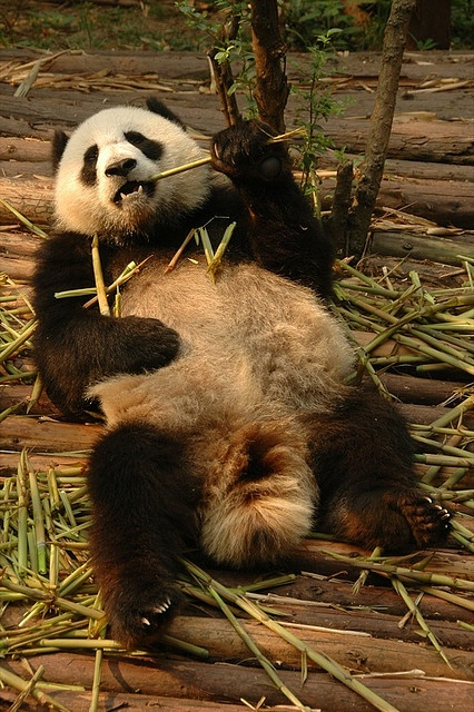 Relaxing Panda - Chengdu, China: I'm going here for Christmas vacation