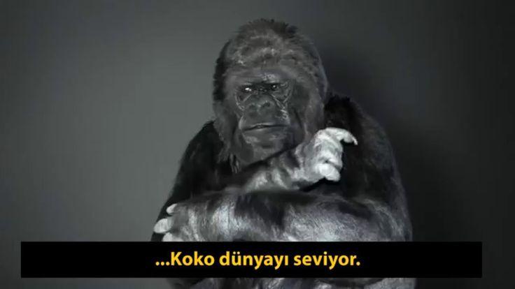"""Goril Koko'dan iklim değişikliği çağrısı: """"İnsanlar Aptal, Dünyayı Kurta..."""
