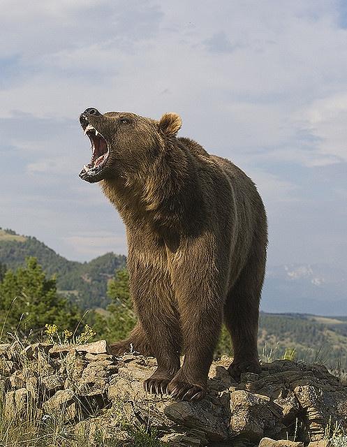 Bär brüllt nach Essen