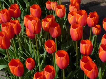 Nannup in South West Australia, hosts different festival through the year. One of the prettiest is the Flower Festival. Tulips abound.