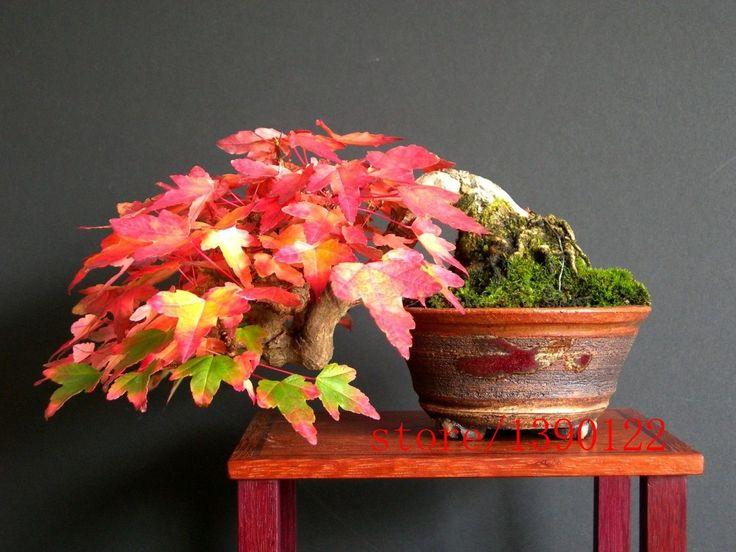 20pcs Trident maple seeds, japanese maple tree seeds, Acer buergerianum , bonsai flower seeds,fresh seeds plant for home garden