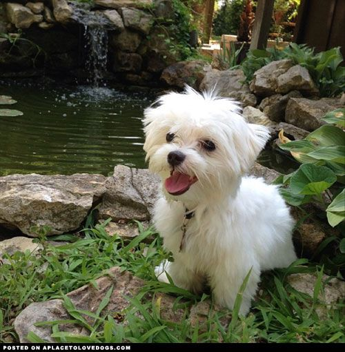 maltese dog - Google Search