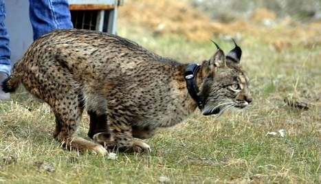 Lynxen uitgezet in Villafranca de Córdoba (2009) om de grote kat te herintroduceren in het wild. | Andalusië (Spanje)