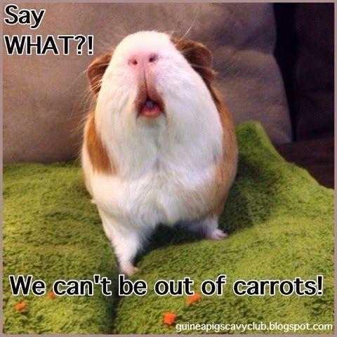 42 Best Guinea Pig Meme Board Images On Pinterest Guinea