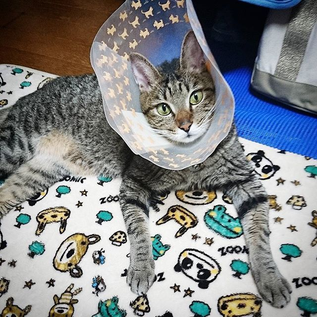 こんばんは  武蔵です❗  日中は温かく、僕専用のこのマットで寝ながらお留守番したニャン🐱✨‼️ でもこれから寒くなるからこたつが欲しいにゃ❗🐾🐾🐸🐾🐾🐱🐾🐾😛 #ねこ  #ねこ部  #にゃんすた  #猫祭  #ねこのきもち  #みんねこ #にゃんこ  #保護ねこ  #東京カメラ部  #ネコダスケステーション  #neko  #picneko  #catsofinstagram  #ilovecat  #cat #instagramcats  #ねこのいる暮らし  #愛猫  #きじとら  #きじとら部  #愛しい猫  #ねこぶ  #ねこずきさんと繋がりたい