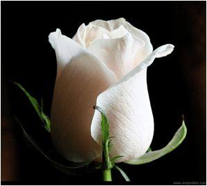Beyaz renk, saflığın, masumiyetin ve duruluğun rengidir. Genel olarak gül, insana bahşedilen en özel duygulardan biri olan aşkın ve sevginin ifadesi için kullanılır. Beyaz gül, tutku dolu aşktan ziyade, saflığı ve doğallığı ile ön plana alan sevgi için kullanılır. Örneğin Anne Sevgisi, Abla sevgisi, Allah Sevgisi gibi. Beyaz Gül armağan ettiğiniz kişiye, O'nun ne kadar iyi kalpli biri olduğuna vurgu yapabilir, masum, saf ve temiz duygulara sahip olduğunun mesajını iletebilirsiniz.