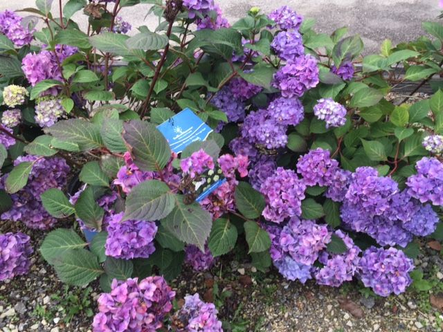 Endless Summer Bloomstruck Hydrangea #barnnursery now 25% off at www.barnnurserylandscape.com