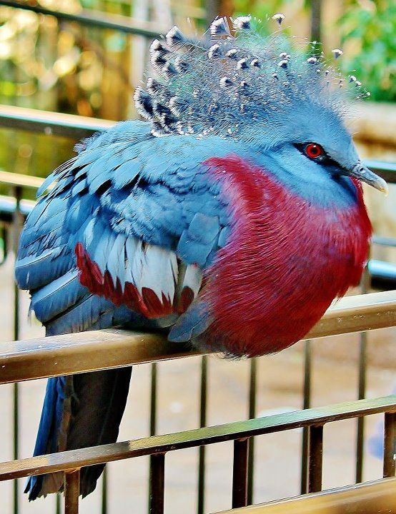 Crowned Pigeon.Awesome birds.And very pround of her beautiful pose.
