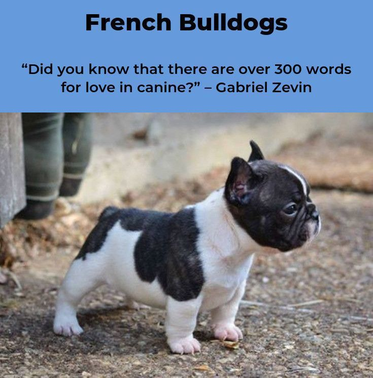 French Bulldog Frenchbulldogpuppy Frenchbulldog