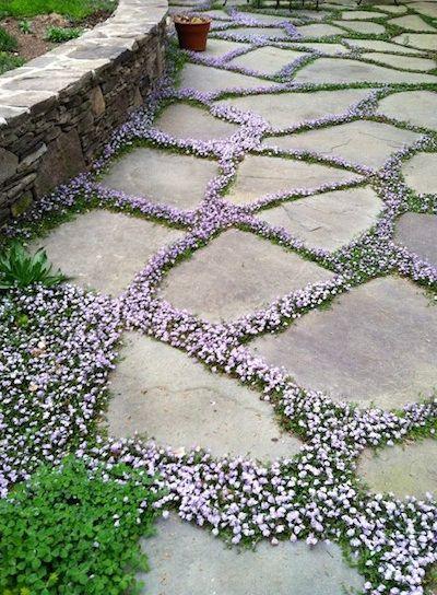 De simples dalles de ciment sont séparées de Mazus reptans, une petite vivace très florifère.