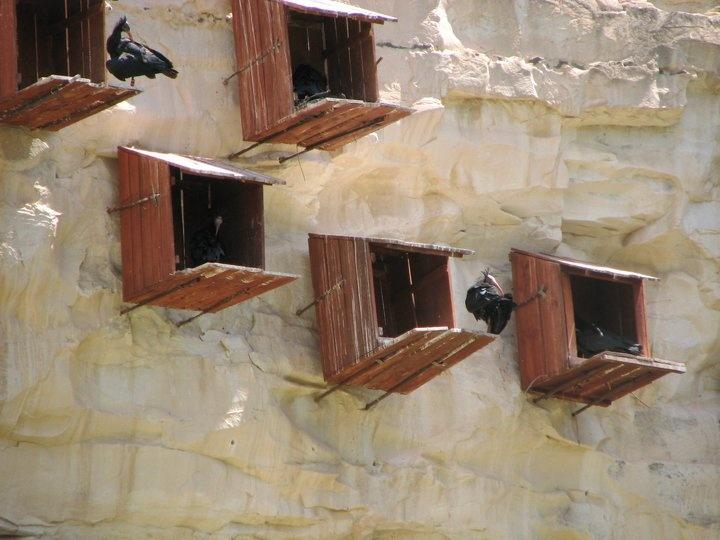 Kelaynaklar-Monogamous, a few birds left in Birecik / Urfa